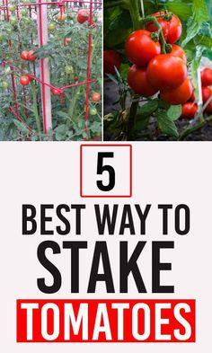 Growing Vegetables Indoors, Easy Vegetables To Grow, Vegetable Garden For Beginners, Gardening For Beginners, Small Tomatoes, Tomato Plants, Outdoors, Train, Healthy