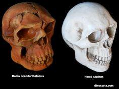 Homo sapiens. Homo neanderthalensis