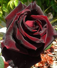 This rose is called Black Magic and it's a hybrid between the Dallas rose and the Red Velvet rose. The Black Magic rose has a very velvet-like look. From what I've read, these are scentless. /// that's too bad - it's beautiful! Black Magic Roses, Red Roses, Black Roses, My Flower, Pretty Flowers, Rose Foto, Gothic Garden, Coming Up Roses, Hybrid Tea Roses