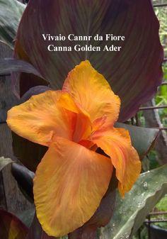 Canna Golden Ader, canna di media latezza, simile per il fogliame alla Canna Wyoming, il fiore è giallo/oro aranciato