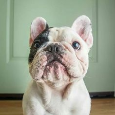 Manny, the French Bulldog