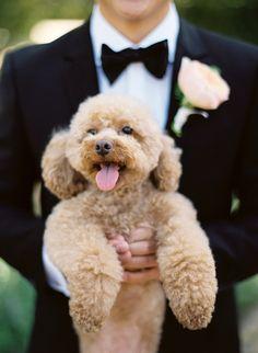Poodle . . . he looks like our Kodi!