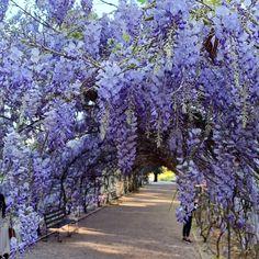 Wisteria, Botanical Gardens, Sidewalk, Country Roads, Seasons, Beauty, Instagram, Side Walkway, Seasons Of The Year