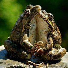 Waltzing Frogs, At The Butterfly Ball