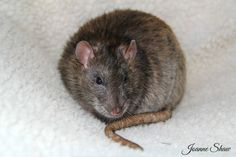 Rat - Rowan by Joanne Laws
