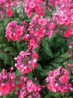 Blomstereksempler rundt fra haven og de forskellige bede. Her pink flox