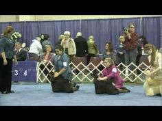 Junior Showmanship - 2013 ASC Flushing Spaniel Show