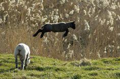 Photo : Saute moutons,  France, Animaux, Animaux de ferme, Bétail, Moutons. Toutes les photos de Romain HUONNIC sur L'Internaute