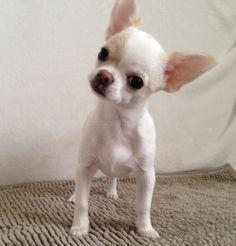 Curious Chihuahua #chihuahua