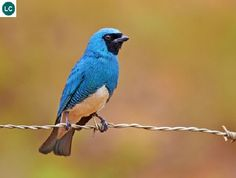 https://www.facebook.com/WonderBirdSpecies/ Swallow tanager (Tersina viridis); South America; IUCN Red List of Threatened Species 3.1 : Least Concern (LC)(Loài ít quan tâm) || Chim Tanager Én; Nam Mỹ; Họ Tanager-Thraupidae.