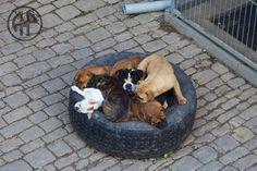 Continental Bulldog, Bulldog Breeds, Bulldogs, Pride, Animals, Animales, Animaux, Animal, Animais