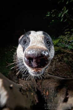 Animals Beautiful, Cute Animals, Honey Badger, British Wildlife, Creature Feature, Totems, Spirit Animal, Animal Kingdom, Make Me Smile