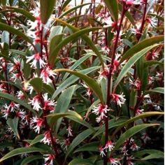 Floraison très parfumée ! Le Sarcococca 'Digyna' fait partie de la famille des Buxacées et est originaire de l'Himalaya. C'est un arbuste à port touffu et drageonnant. Sa hauteur est de 1.2 à 1.5m. Le feuillage persistant comporte de petites feuilles allongées vertes foncées. La floraison débute en février avec de petites fleurs blanches-rosées, très parfumées et à l'aisselle des feuilles. Il produit des fruits ronds bleus-noirs non comestibles mais décoratives.