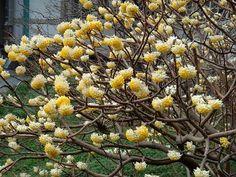 Edgeworthia chrysantha Lindley