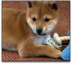 baby Shiba Inu