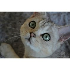 "From @fifemi.nuri: ""Would you like to watch my eyeliner tutorial?"" #catsofinstagram"