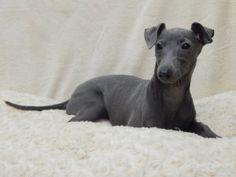 Uw dierenwinkel in Zellik Brussel Italian Dogs, Italian Greyhound Puppies, Greyhounds, Whippet, Puppies For Sale, Bff, Animals, Puppys, Animales