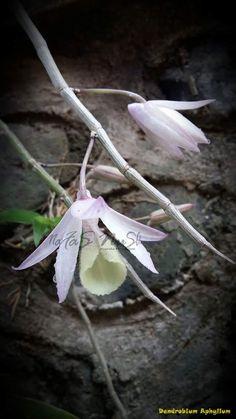 Aphyllum