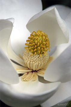 MAGNOLIA GRANDIFLORA, No. 1 by Virginia Saunders (http://www.florigraphy.com)