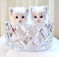 Pretty Cats, Beautiful Cats, Animals Beautiful, Beautiful Pictures, Animals And Pets, Baby Animals, Cute Animals, White Kittens, Cats And Kittens