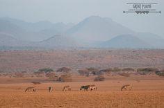 Zebra lazily graze on the plains of the Chyulu Hills National Park, Kenya | ol Donyo Lodge