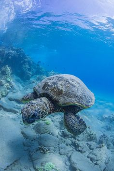 Uploaded by heart shaped box . Find images and videos about ocean and turtle on We Heart It - the app to get lost in what you love. Beautiful Creatures, Animals Beautiful, Beautiful Ocean, Zany Zoo, Tortoise Turtle, Turtle Love, Green Turtle, Ocean Creatures, Tortoises