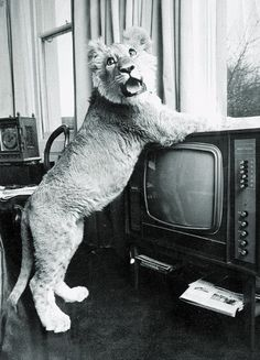 there's a lion on TV!