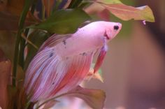 Beautiful pink Betta fish picture