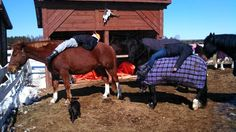 Sun bathing on our horses, welove to put pur horses through everything that we possibly can! this is an everyday accurence at KickBack Stables