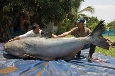 Largest Catfish Ever Caught- Thailand  | The 10 Biggest Catches In The World