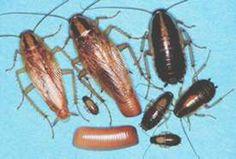 Cockroaches : University of Minnesota Extension