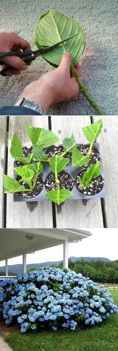 I love hydrangeas, this may be a good way to start. How to root hydrangea cuttings.