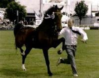 Hackney | The Hackney- Horse Breed - Pony Breed - Horse Breeding - Equiworld ...