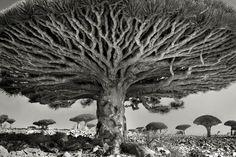 Poursa sérieAncient Trees, la photographe américaineBeth Moonparcourt le monde depuis 14 ans à la recherche desplus vieux et des plus majestueux ar