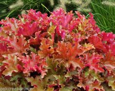 Heuchera-MARMALADE-orange-ruffled-wavy-coral-bells-3-pot-1-Live-Potted-Plant