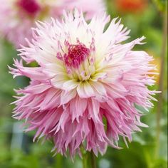 Isn't this dahlia gorgeous? Love the colours! This is the Dahlia Nadia Ruth; it's a new flower variety for 2013. #flowers