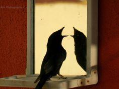 Black Drongo #birds