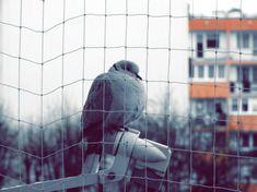 Sierpówka Eurasian collared dove Wild Birds, Collars, Wordpress, Wallpaper, Fotografia, Necklaces, Wallpapers, Shirt Collars