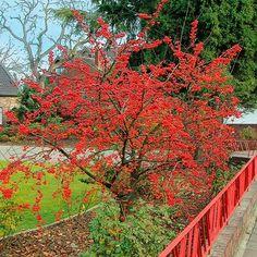 Vogelfutter-Baum, m Herbst bildet der Vogelfutter-Baum Massen von leuchtenden Miniäpfelchen, die bis in den Januar zieren, sofern sie nicht von Vögeln als Winterfutter genutzt werden. Zuvor entspringt unzähligen rosa Knospen Anfang Mai eine strahlend helle, duftende Blütenwolke.