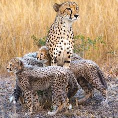 Cheetah cubs surround their mother in Phinda Game Reserve, KwaZulu-Natal, South Africa Big House Cats, Big Cats, Cats And Kittens, Animals And Pets, Baby Animals, Cute Animals, Beautiful Cats, Animals Beautiful, Baby Cheetahs