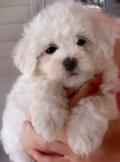 Bichon Frise - this is what my Maggie looked like when I got her. Sooo cute!