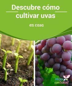 Descubre cómo cultivar #uvas en casa Aprender a cultivar cualquier tipo de alimento en tu propio jardín puede convertirse en una actividad #terapéutica. En función del tipo de #clima deberemos procurar a nuestras uvas una serie de cuidados adicionales #Curiosidades