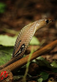 The Spectacled Cobra