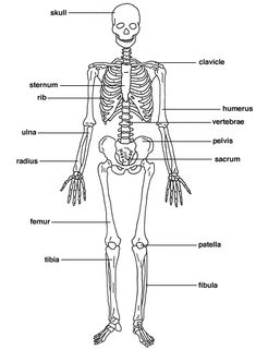 Skeletal system labeled diagrams human skeleton the skeletal rsultats de recherche dimages pour projet maternelle corps humain ccuart Gallery