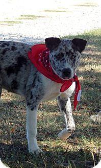 Westport, CT - Australian Shepherd/Akita Mix. Meet Calamity, a puppy for adoption. http://www.adoptapet.com/pet/13806716-westport-connecticut-australian-shepherd-mix