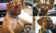 Grumpy dog becomes the new grumpy cat