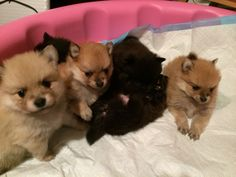 Pomeranian Puppies- brown & cream sables, black puppies