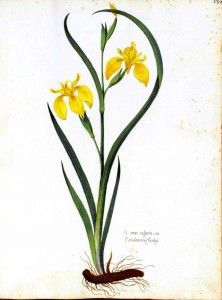 Botanical Drawing of Iris - This will be my first tattoo ... someday. Of course it will be a purple bearded iris.