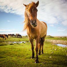 Icelandic horse near Vesturhorn, Iceland