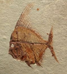 Fossil Fish - Aipichthys velifer - This member of the family Dinopterigidae  died out during the Upper Cretaceous :  100.5 - 66 million years ago